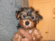 Teacup Yorkie Puppies text at (289) 434-4069